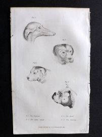 Cuvier C1830 Antique Print. Heads of Dogs. Greyhound, Alpine Spaniel, Mastiff, Bulldog